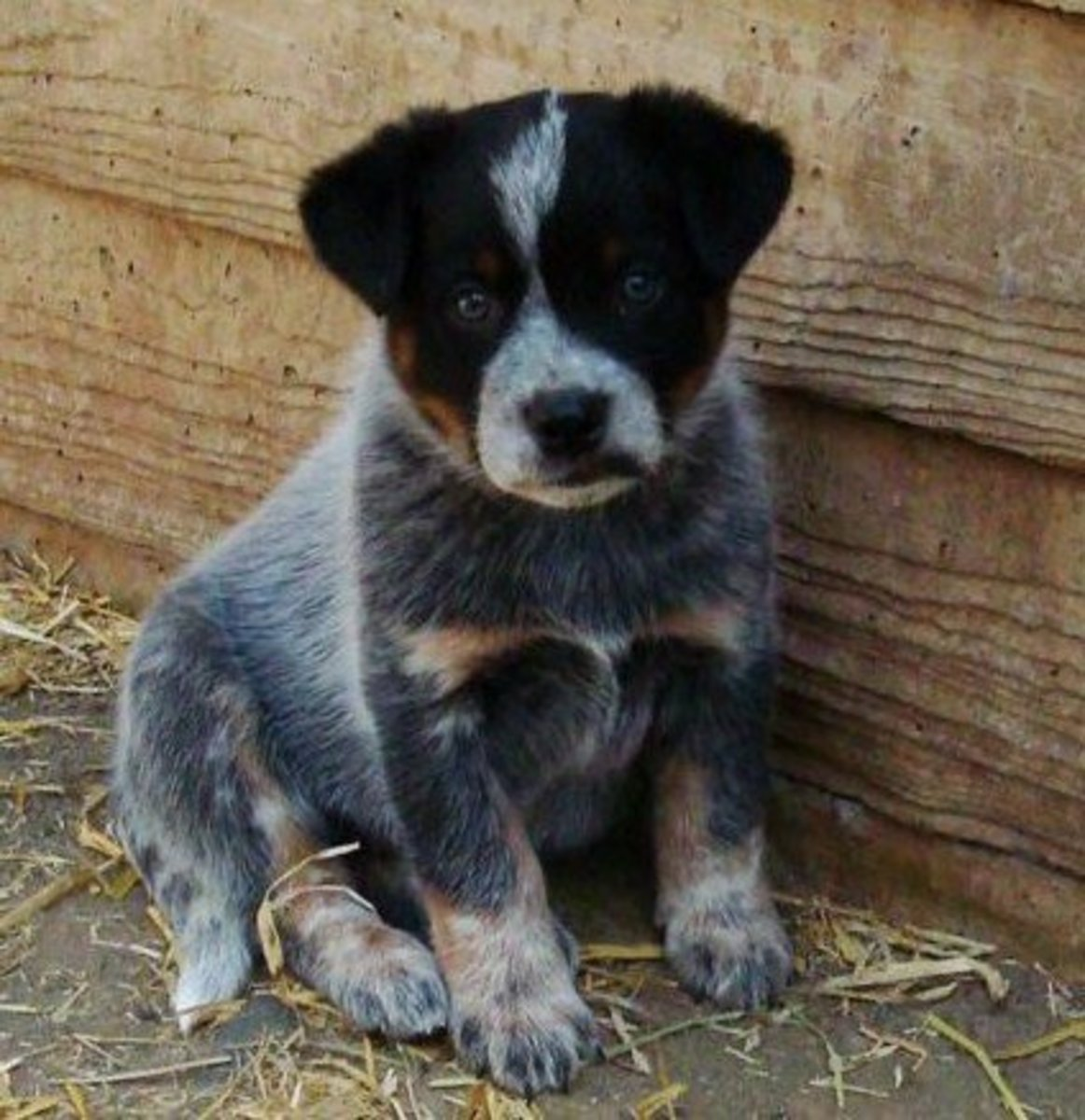 An Australian Cattle Dog as a puppy.