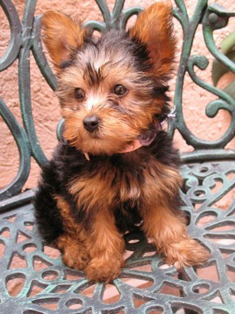 An Australian Silky Terrier puppy.