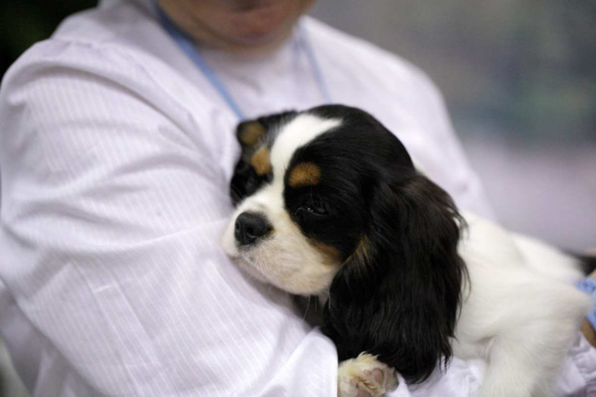 The Cavalier King Charles spaniel is a lap dog and affectionate.