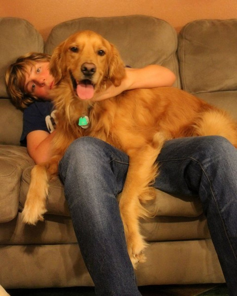 Golden retrievers are not small lap dogs, but they are affectionate.