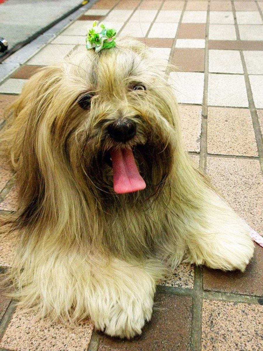 Lhasa apso: Affectionate to his owner, wary of everyone else!