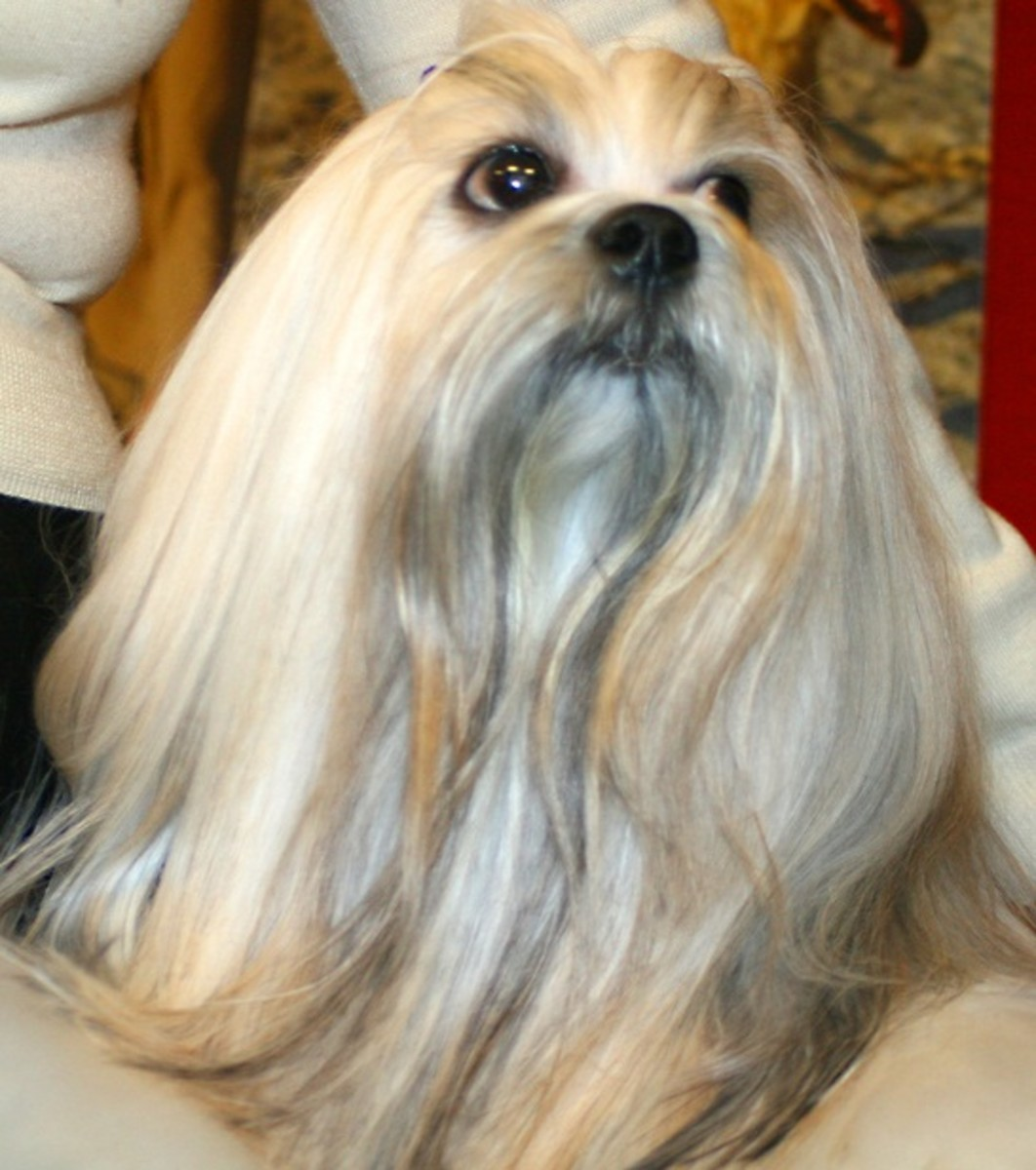 Lhasa apso make good watchdogs even when resting on a lap.