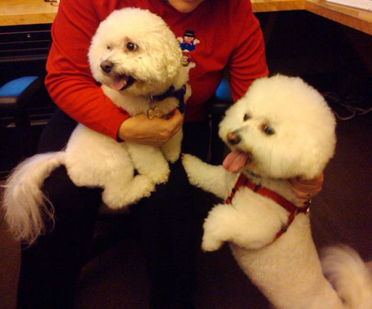Bichons are one of the most affectionate dog breeds.