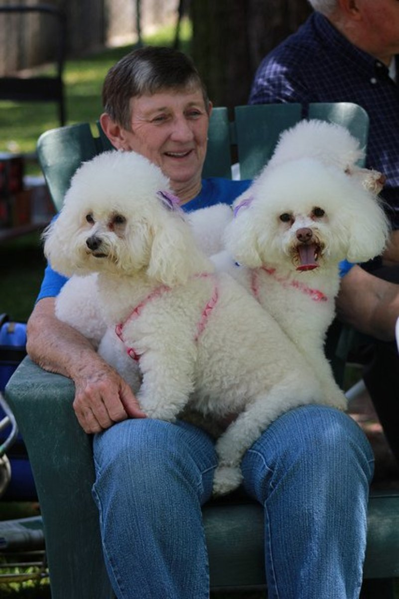 Bichon frisé are happy to sit on a lap.