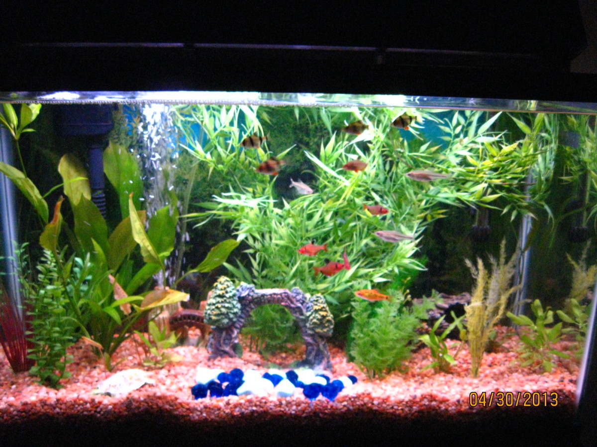 My 30-gallon community aquarium with 4 Tiger Barbs, 1 Gold Barb, 5 Serpae Tetras, and 3 Scissor Tails.