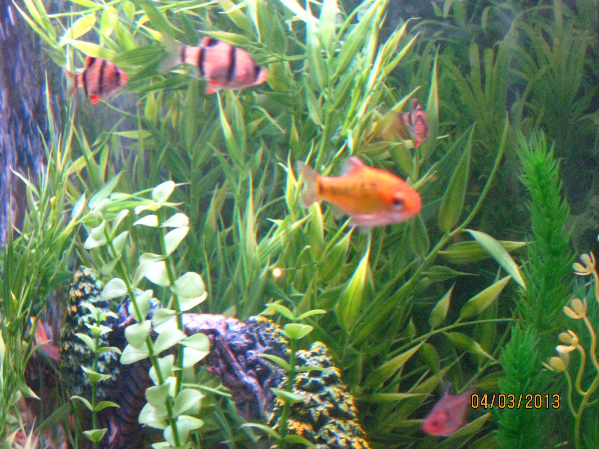 How to start a freshwater tropical aquarium pethelpful for Tropical community fish