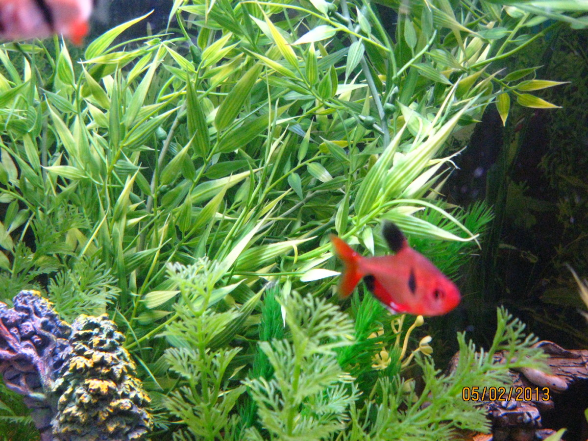 Red Serpae Tetra.