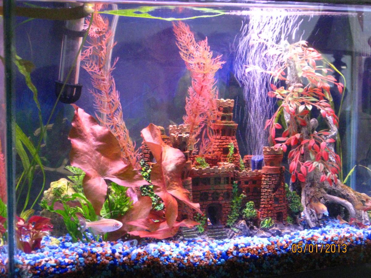 My 10-gallon aquarium with Buenos Aires Albino Tetras.