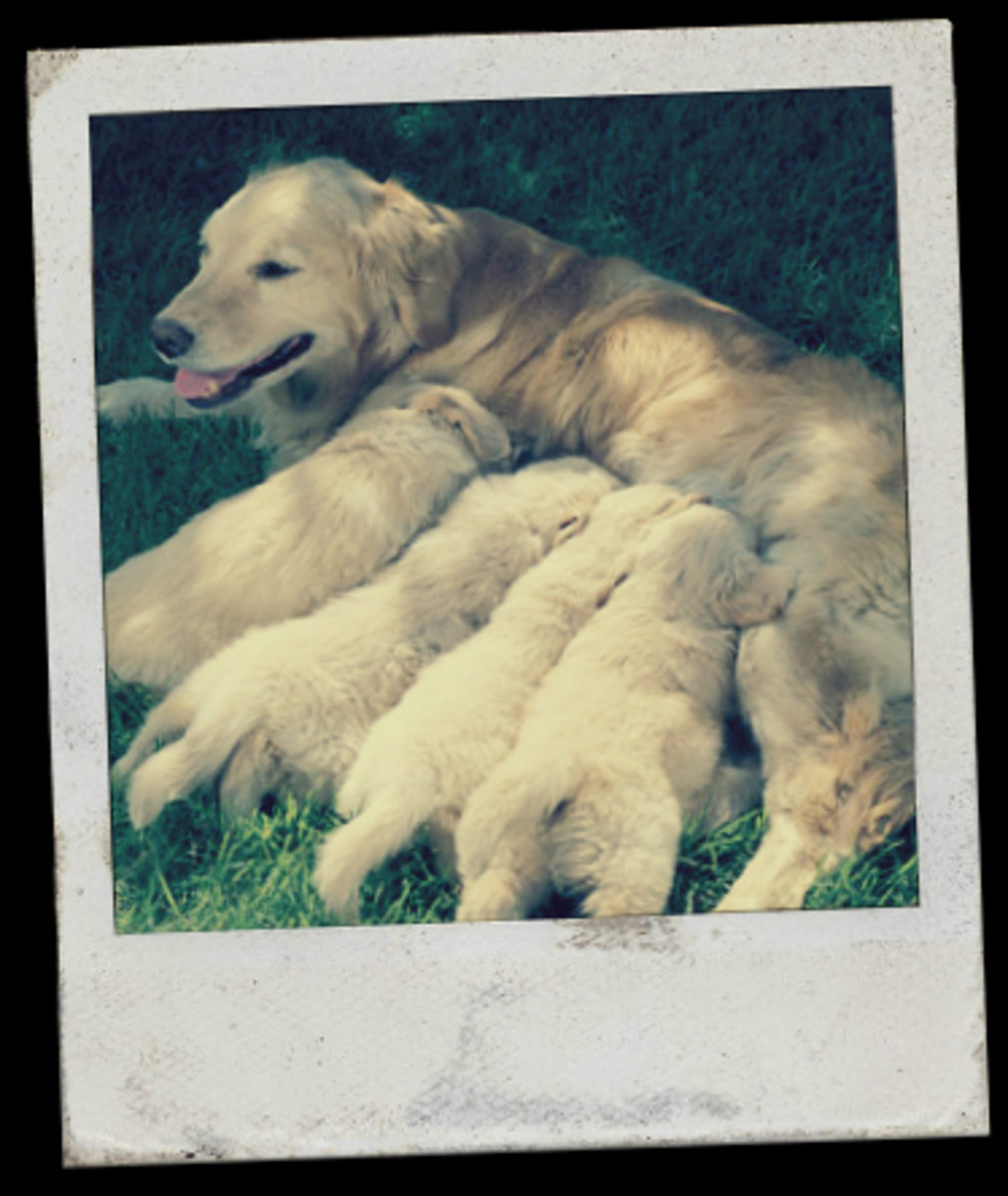 A retriever looking after her pups.