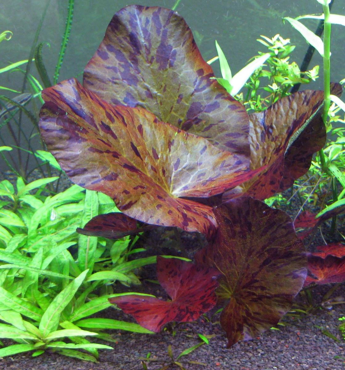 An example of the varigation tiger lotus leaves produce if exposed to intense light.