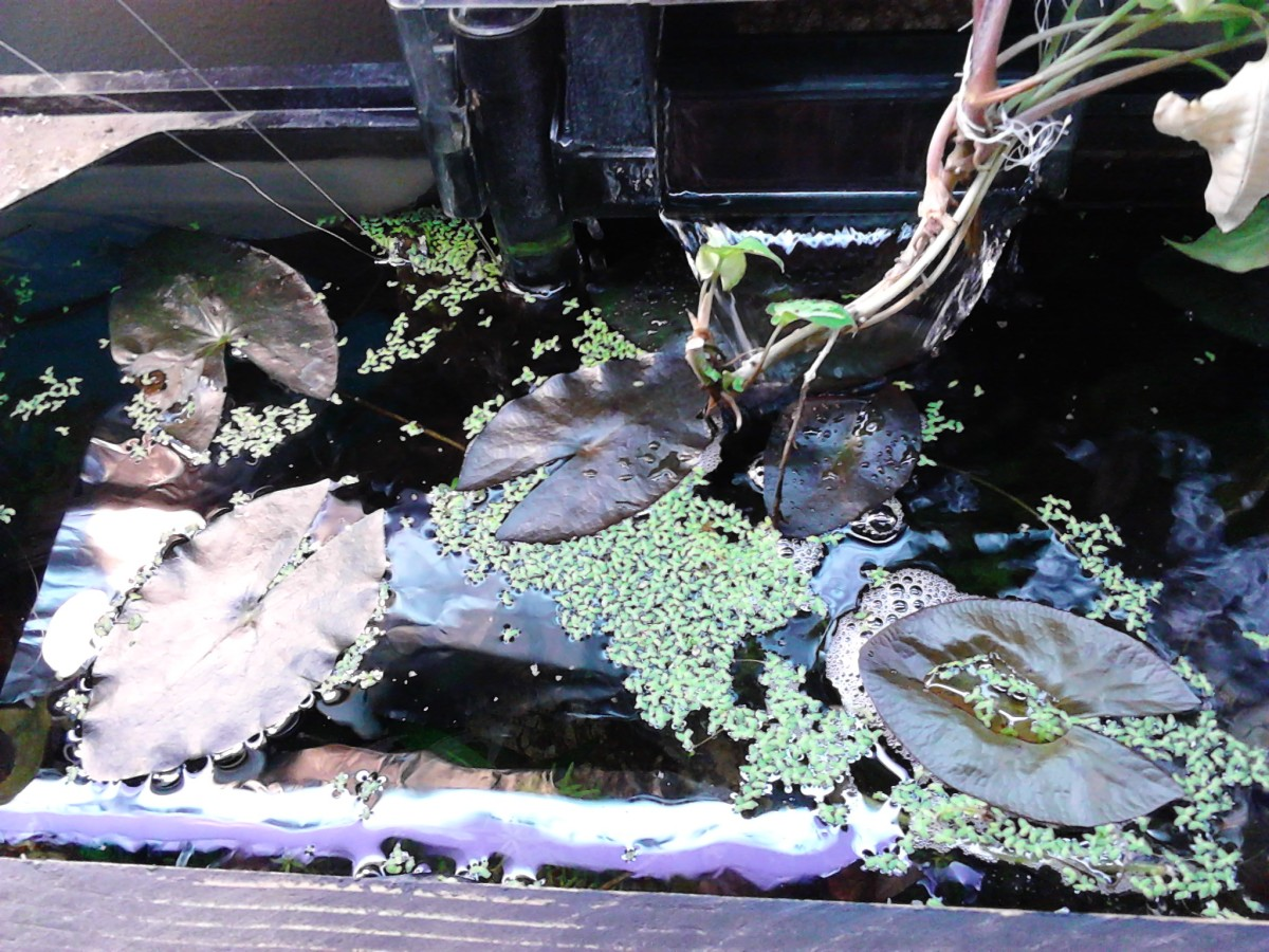 These are floating tiger lotus leaves.