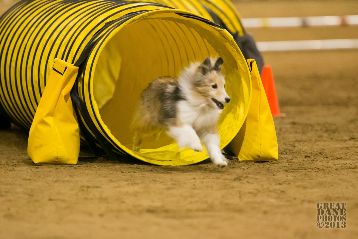 The author's sheltie, Aslan, coming out of the tunnel during the Challengers Round at the 2013 AKC Agility National Championships.