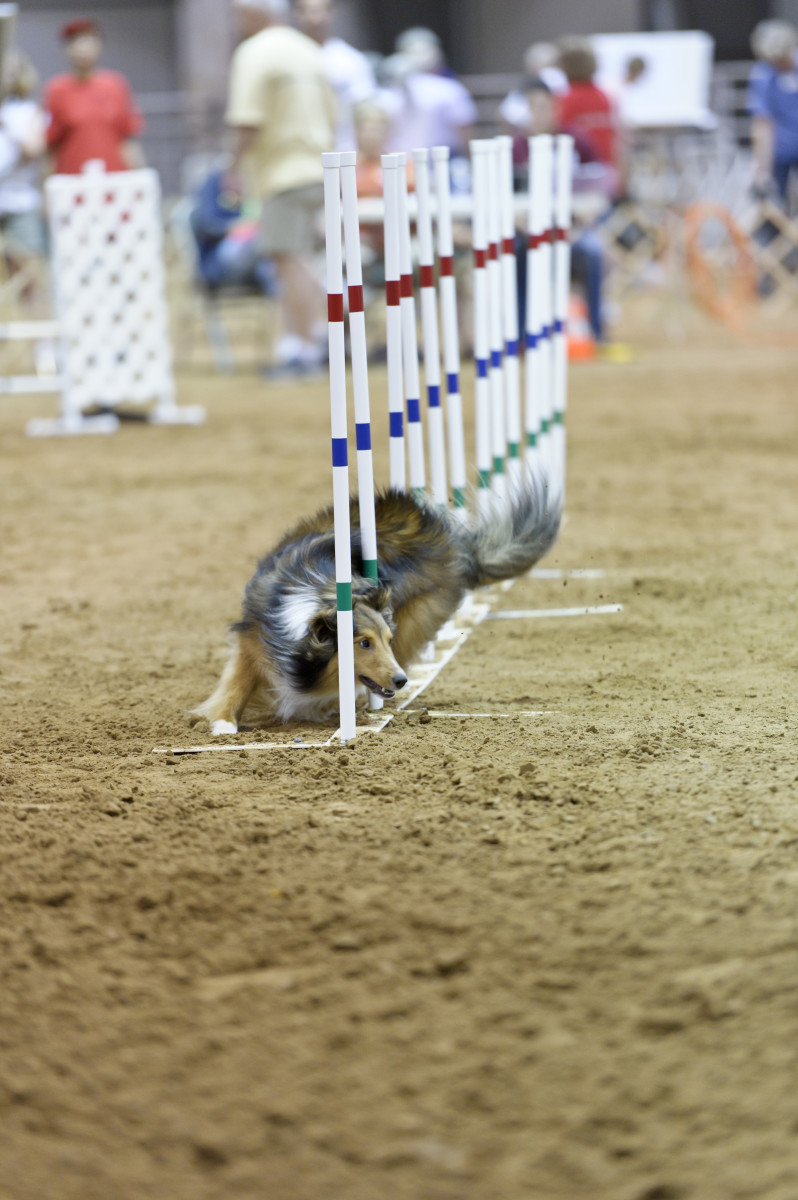 Whether jumping, running or weaving, dogs expect the surface of an agility ring to be consistent from obstacle to obstacle.  Any variation from that consistency can spell disaster.