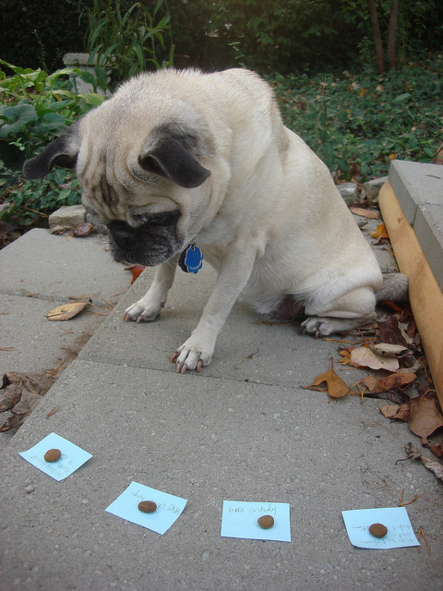 Pugs are cute but not among the top ten most intelligent dog breeds!