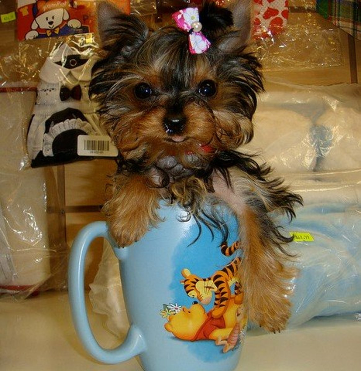 "Yorkies know how to pose for that perfect ""too cute"" moment."