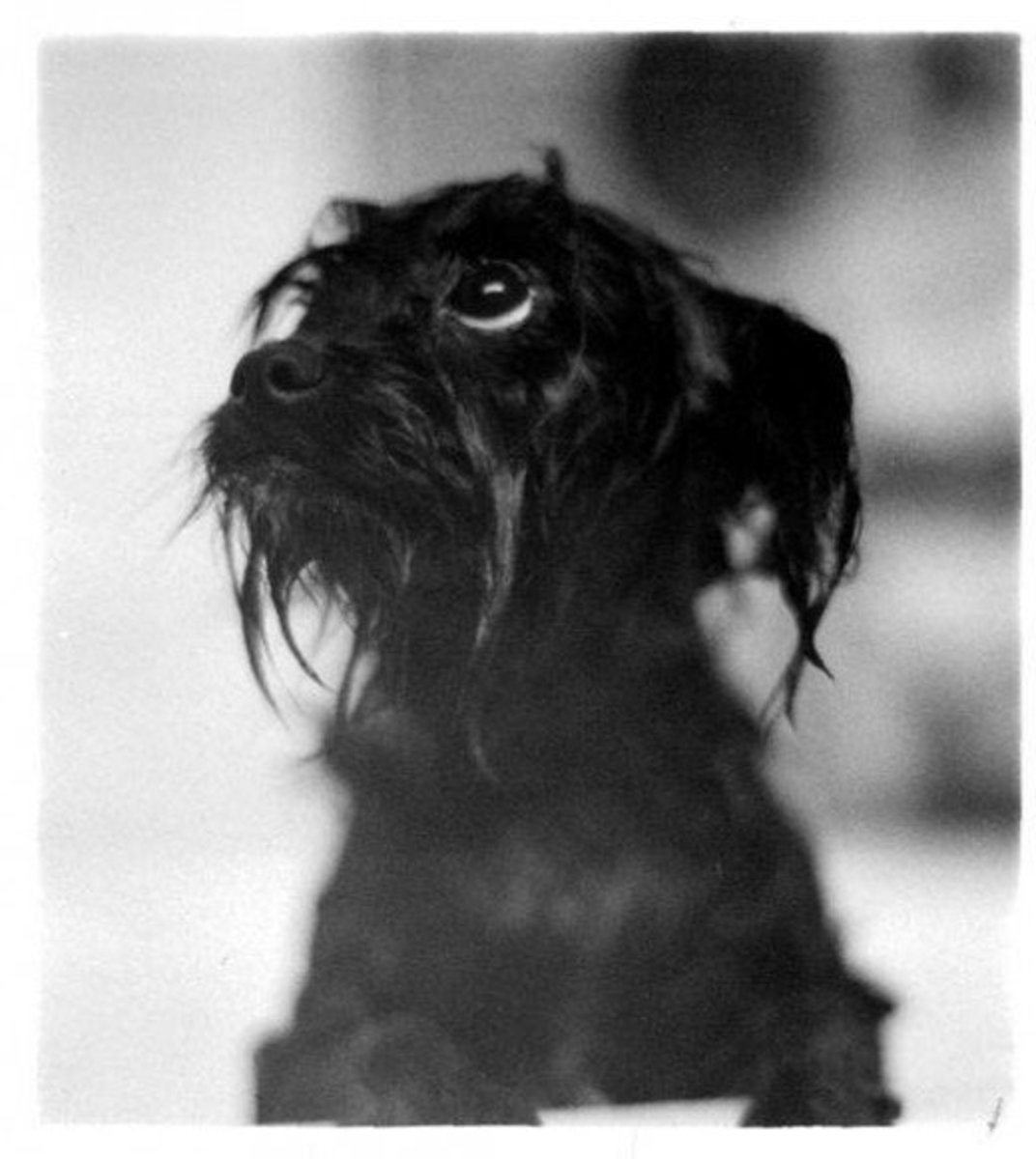Wet monkey? The Affenpinscher's curious nature takes cuteness to the max.