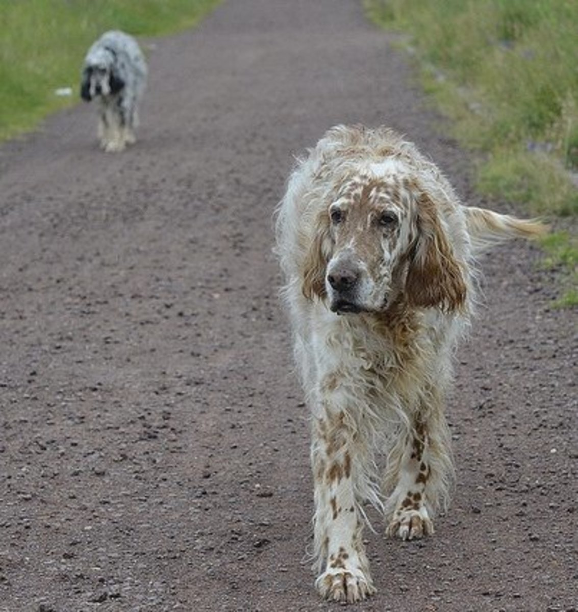 A pair of English Setters out for a stroll.