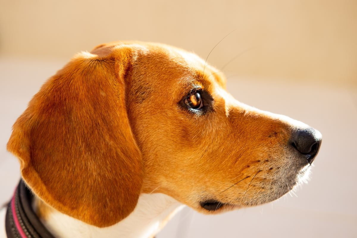 Dogs can detect odors present in the air in parts per trillion.