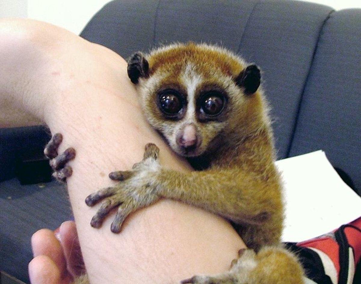 Slow loris clings to human arm
