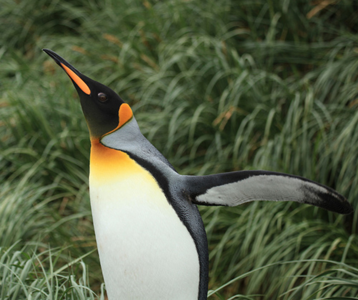 A King penguin spreading its wings.