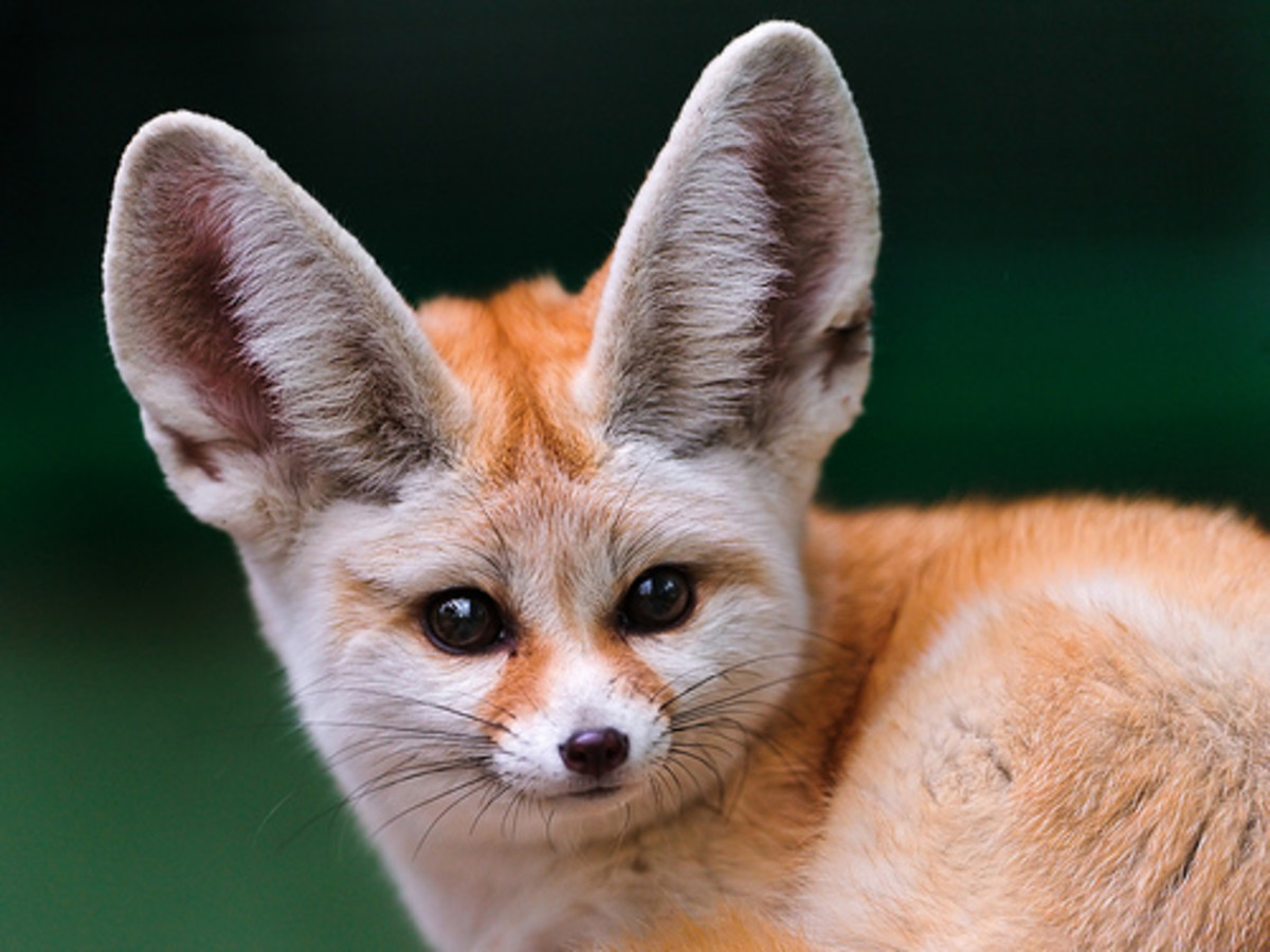 An orange fennec fox