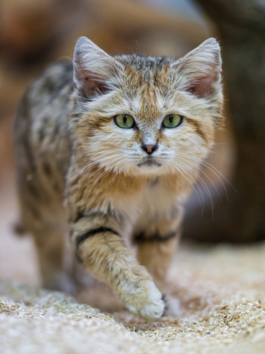 The sand cat takes a step.