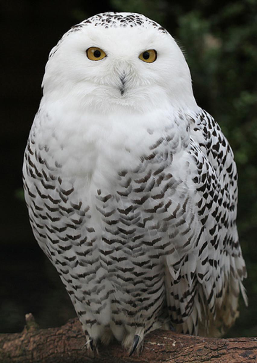 A snowy white owl.