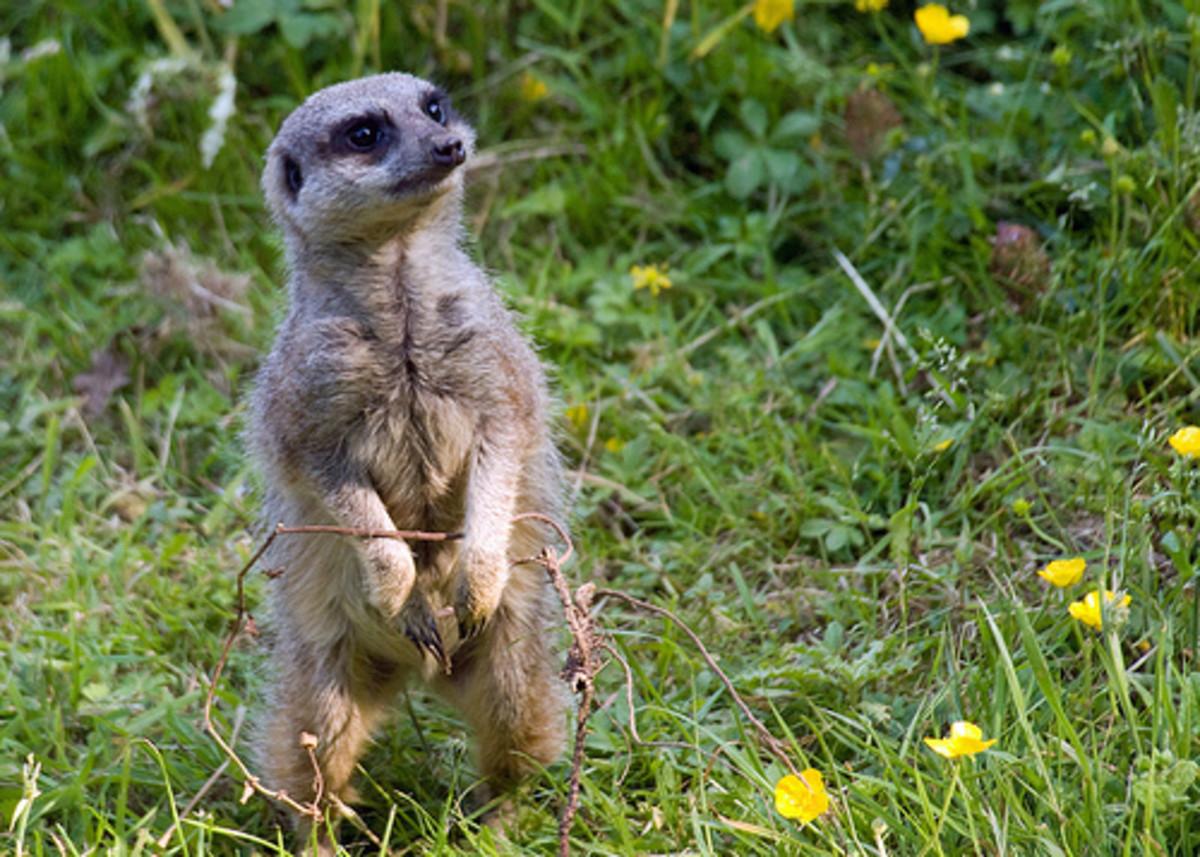 A meerkat standing in grass.
