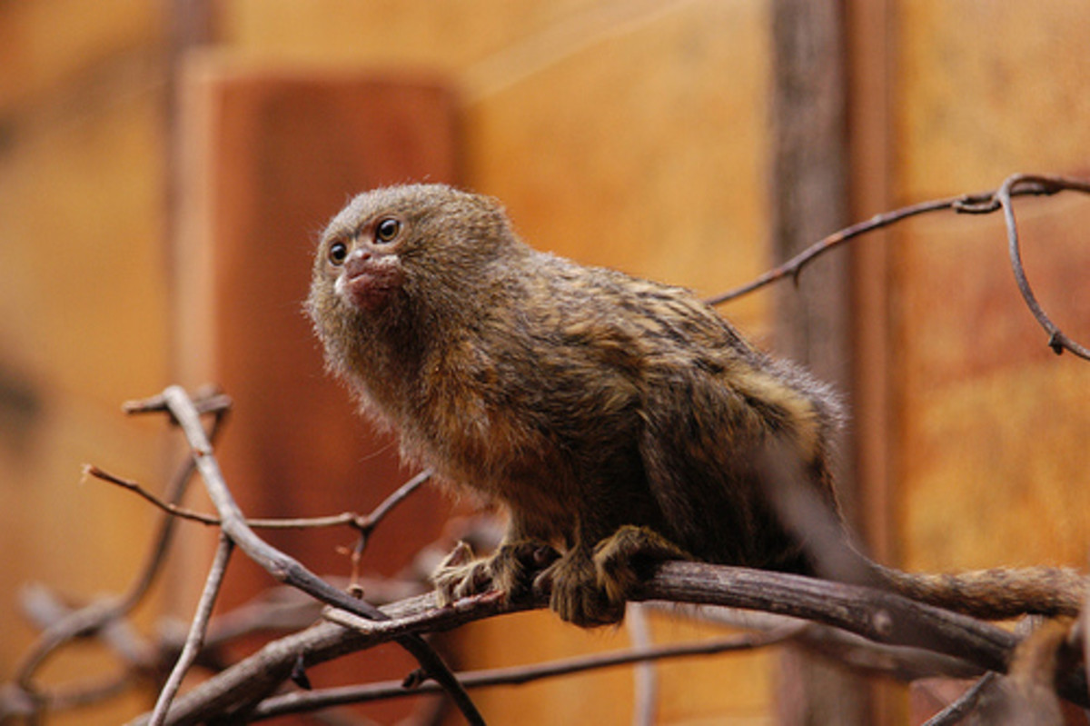 A pygmy marmoset on a branch.
