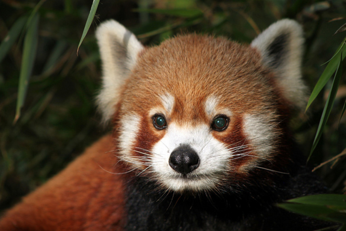 A red panda looking concerned.