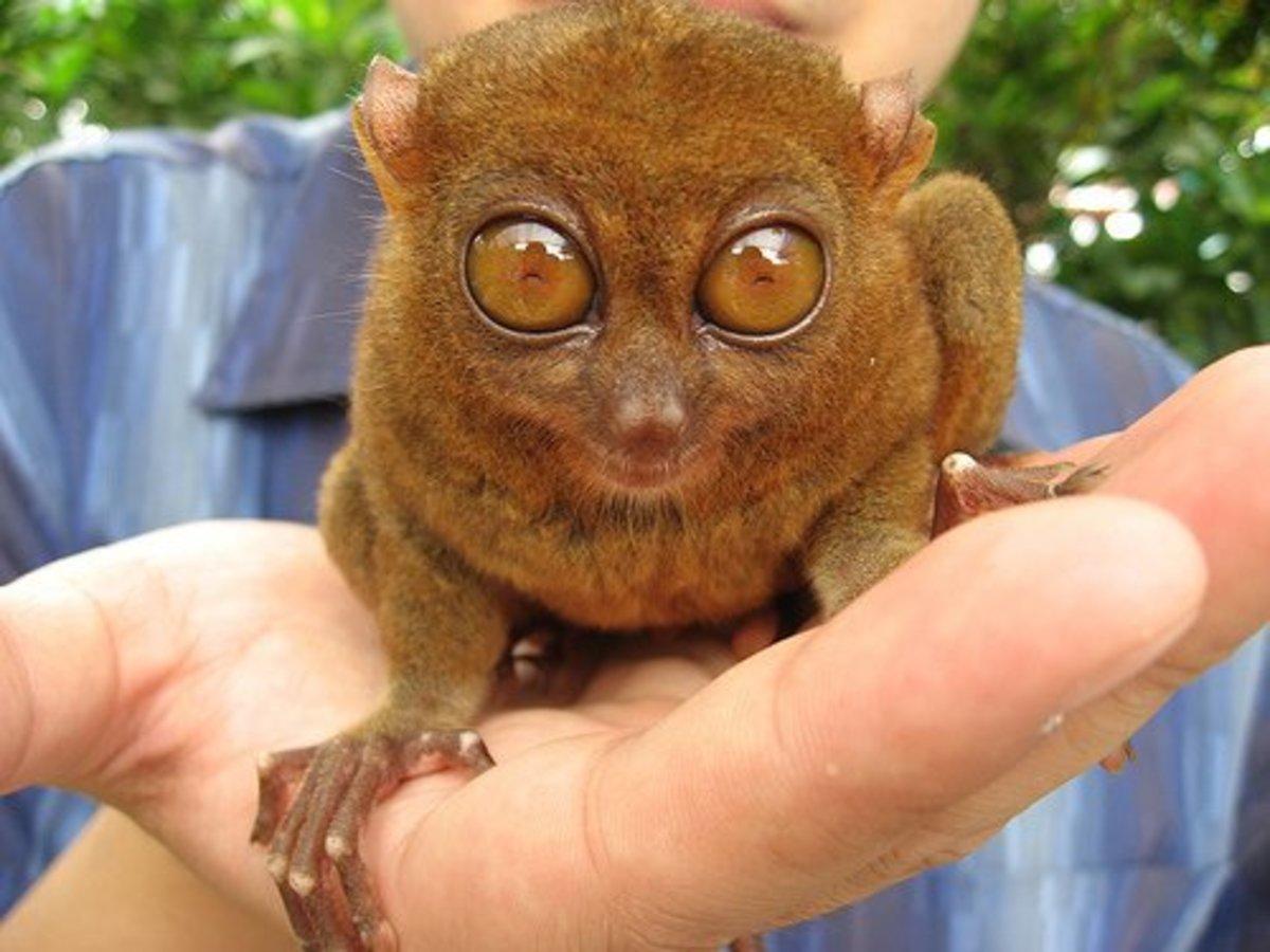 A tarsier on hand.