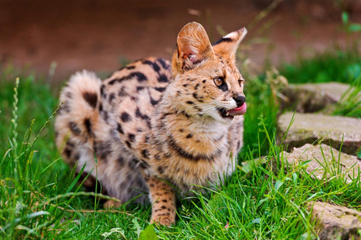 A serval licks his nose.