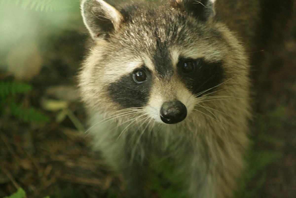 Pet raccoon walks.