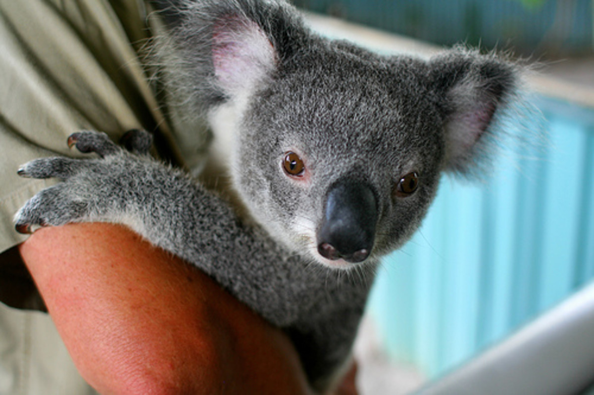 A koala clinging to a zookeeper's arm.