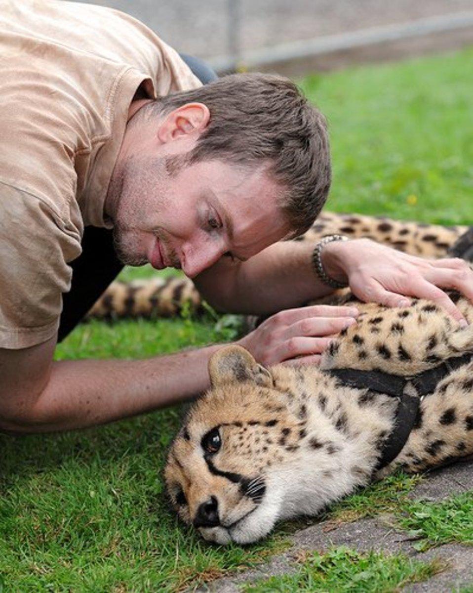 Man and cheetah get acquainted