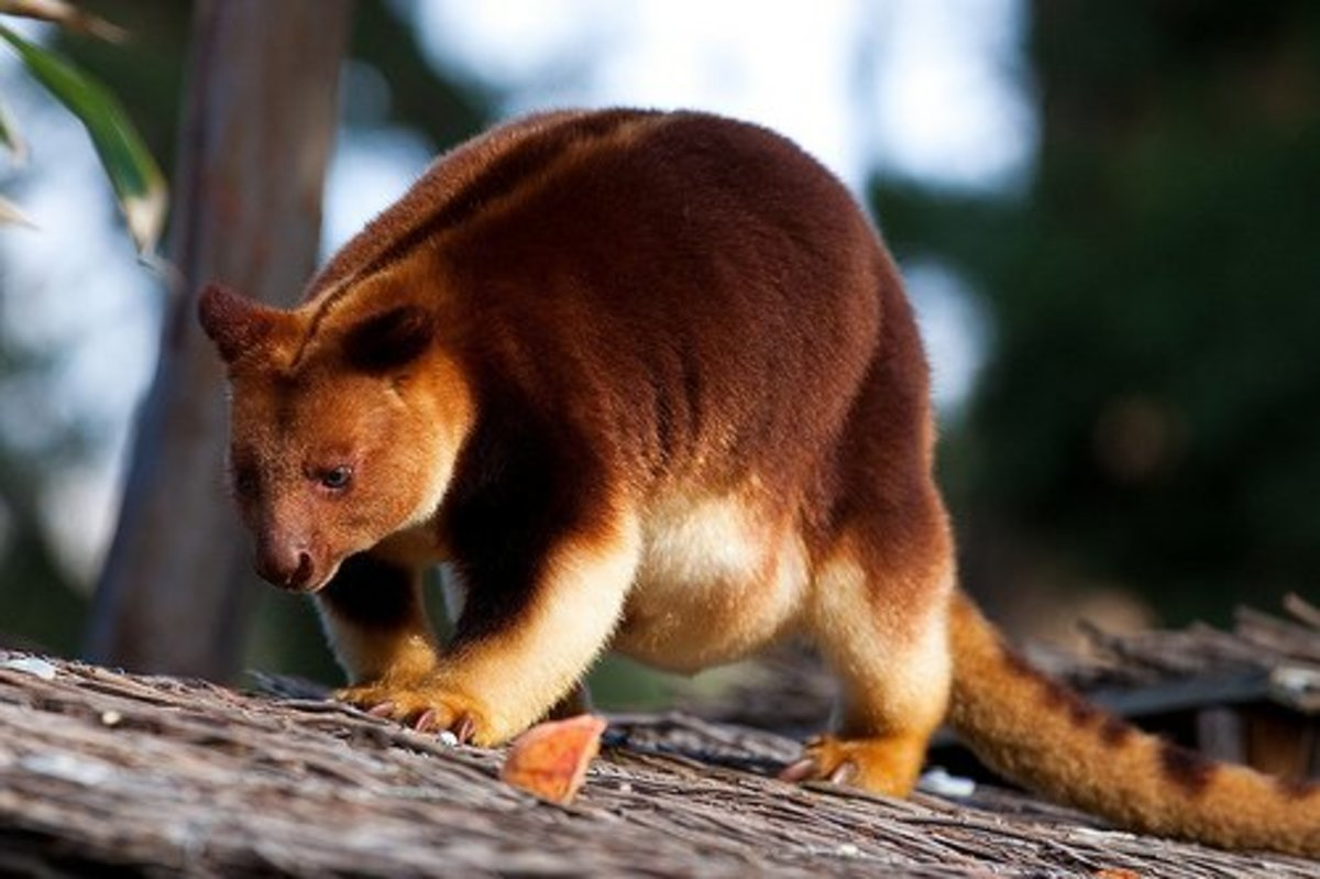 The tree kangaroo on a roof.
