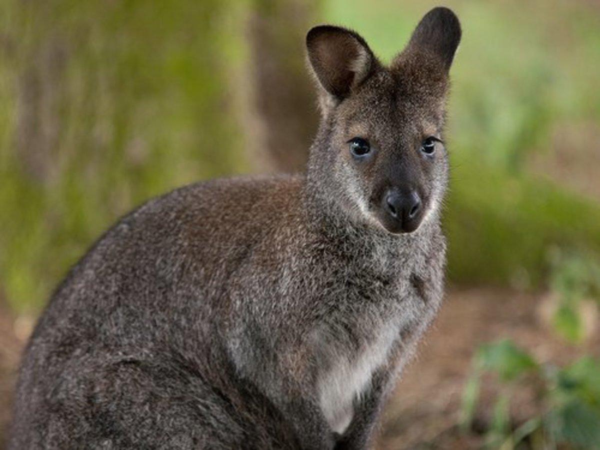 Small pet wallaby.
