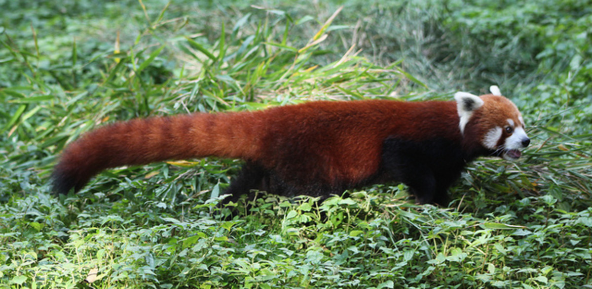 A red panda on the move.