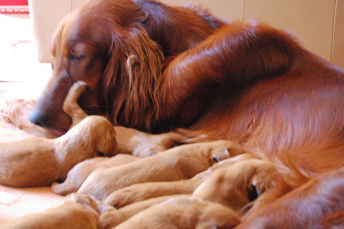 These puppies might not be Gaelic, but they do deserve a good Irish name!