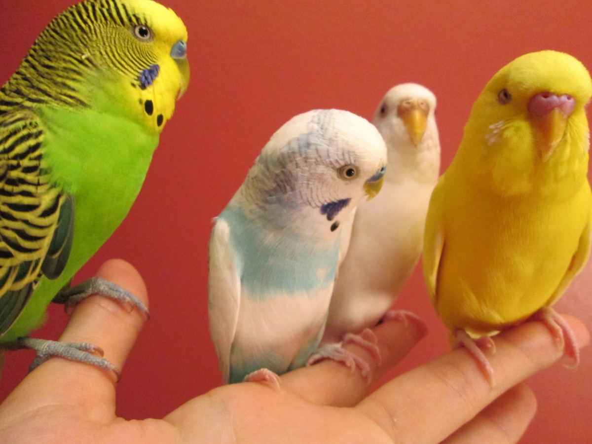 Four well-behaved budgies :)