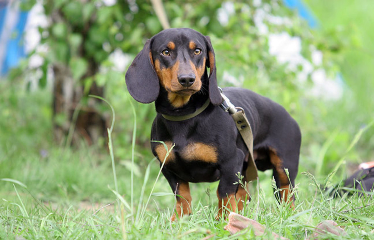 Top 10 Dog Breeds Ideal For Catching Rats Pethelpful