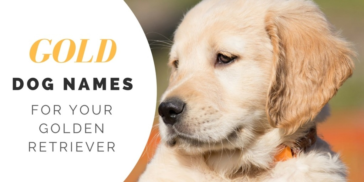 Over 180 Golden Retriever Names For Your Beloved Pup Pethelpful