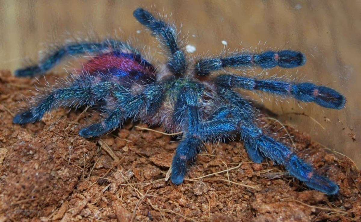 A stunning Amazon Sapphire spiderling.
