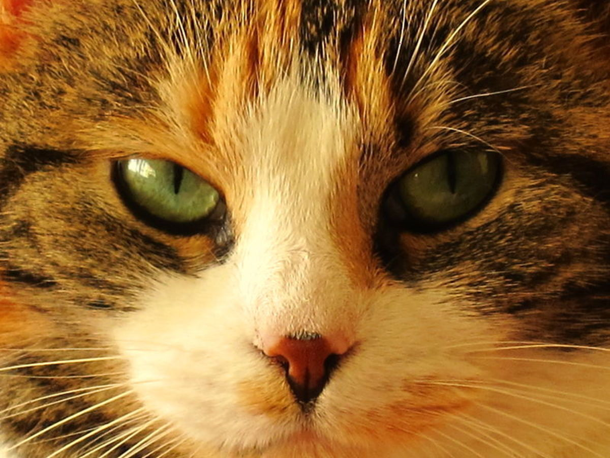 A Cat's Nose Can Find Disease, Disaster, and Death   PetHelpful