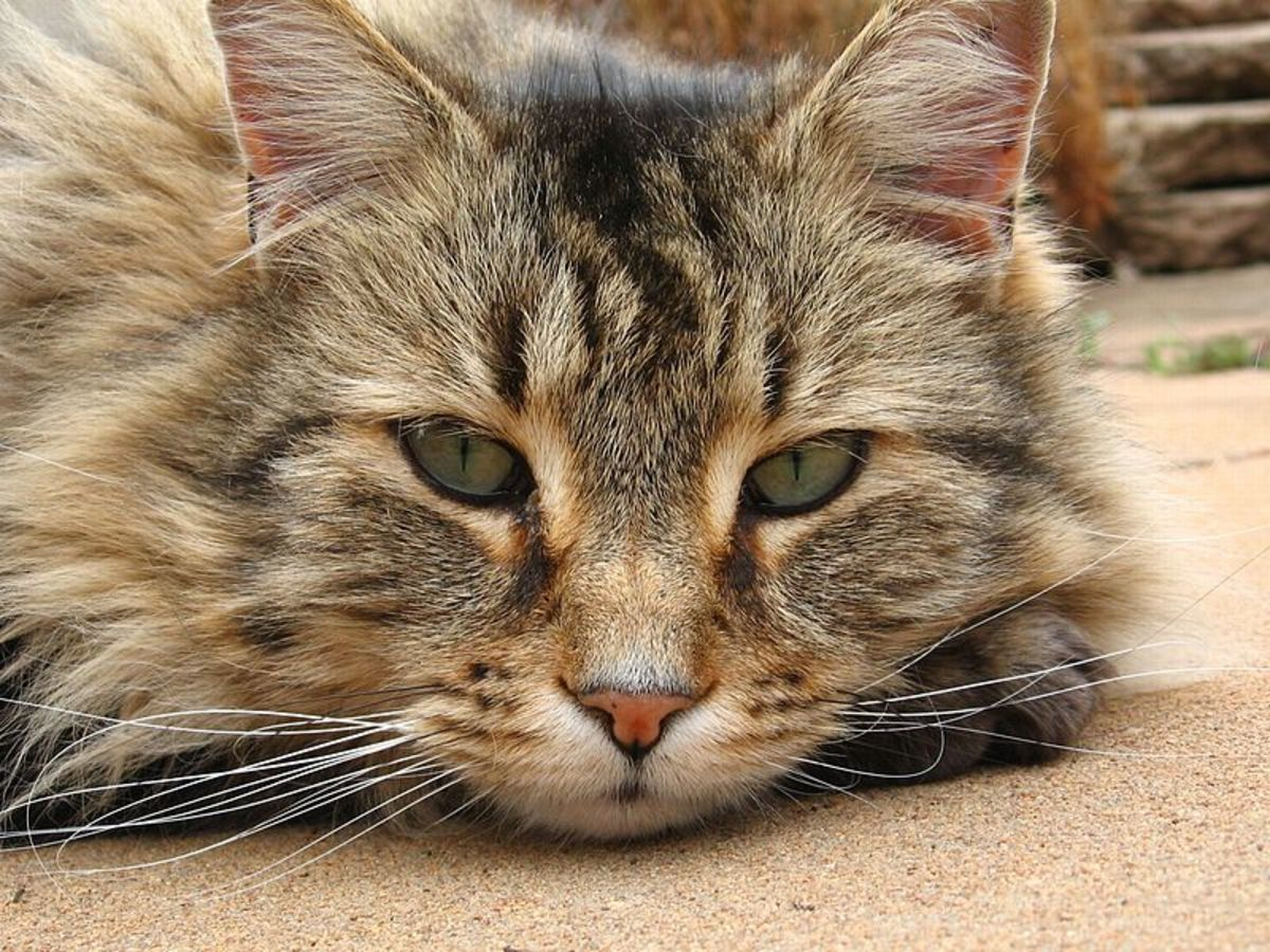 A Cat's Nose Can Find Disease, Disaster, and Death | PetHelpful