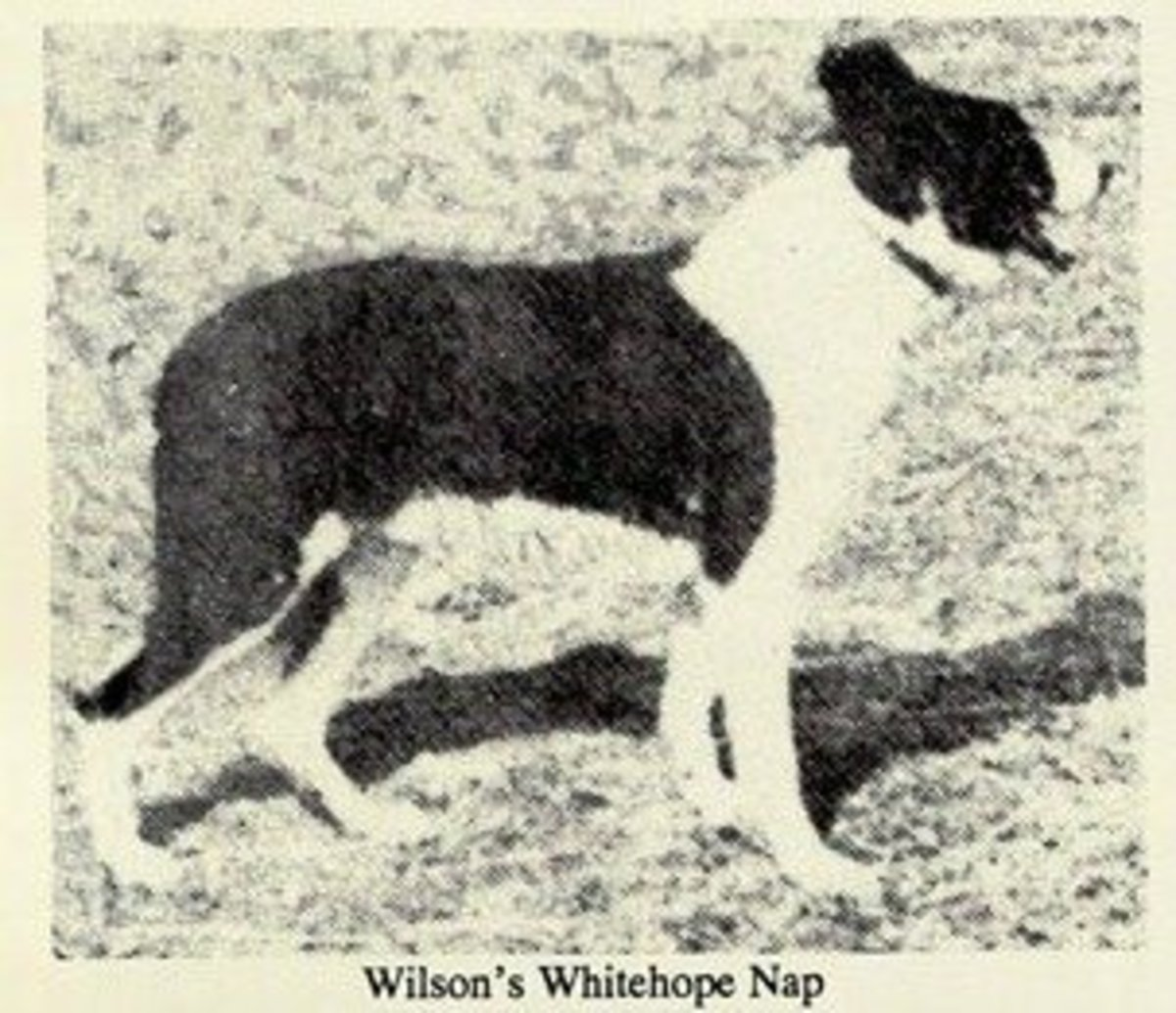 Whitehope Nap.