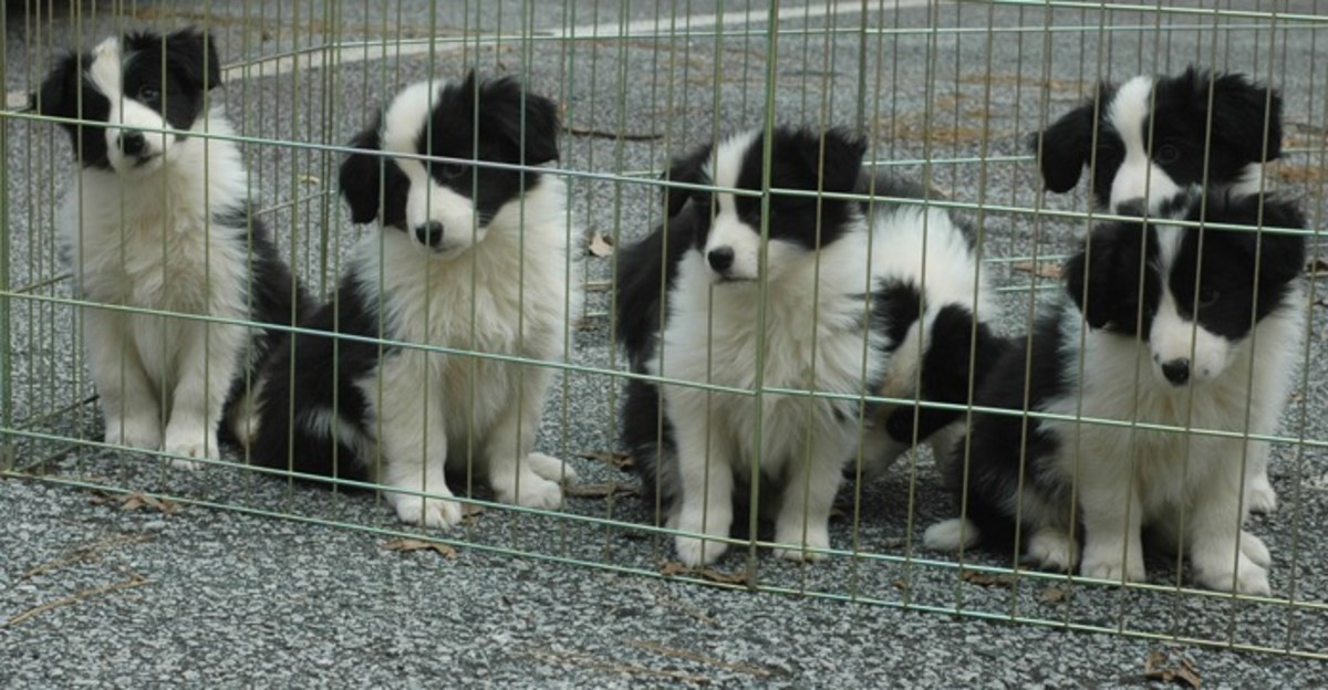 Border Collie Puppies at 8 Weeks