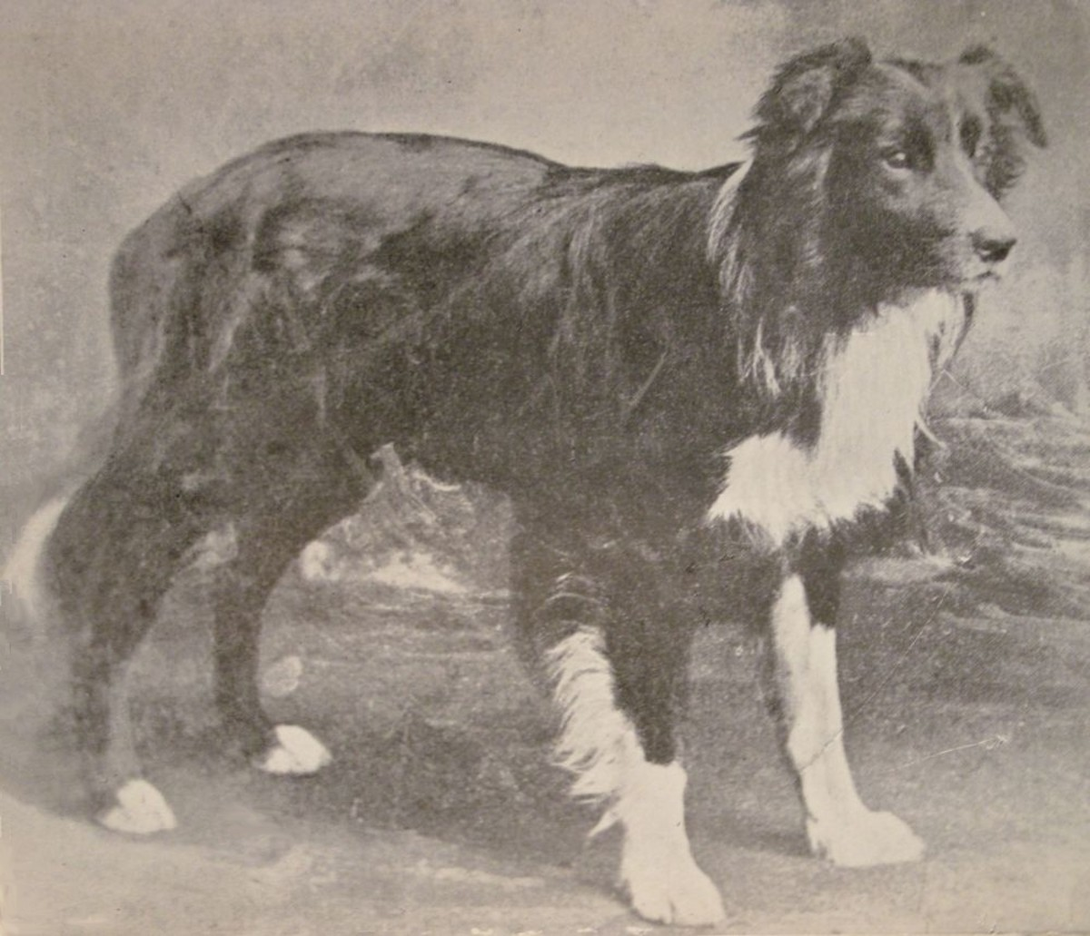 Old Hemp, father of the modern border collie.