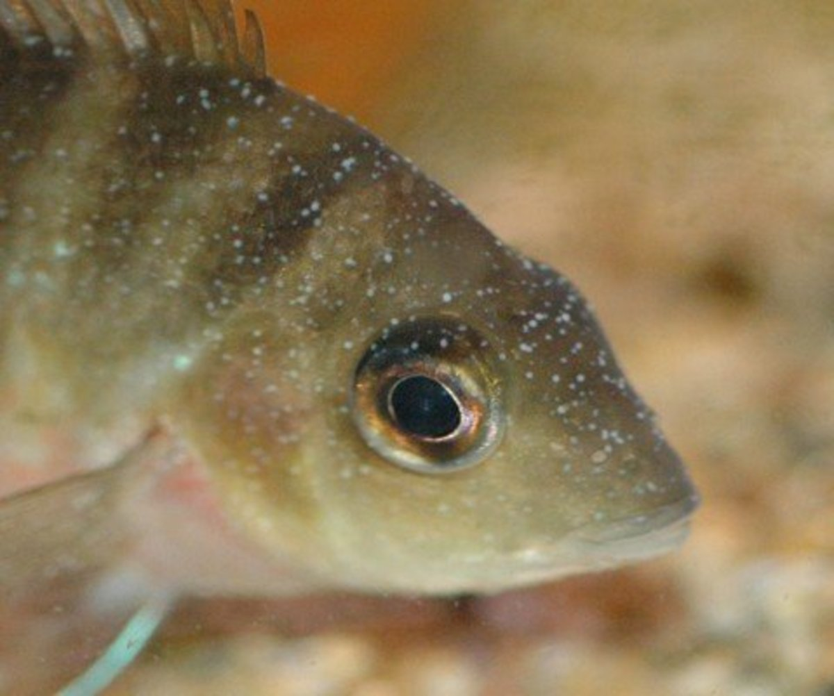 Recognizing common diseases in freshwater fish for Common freshwater aquarium fish