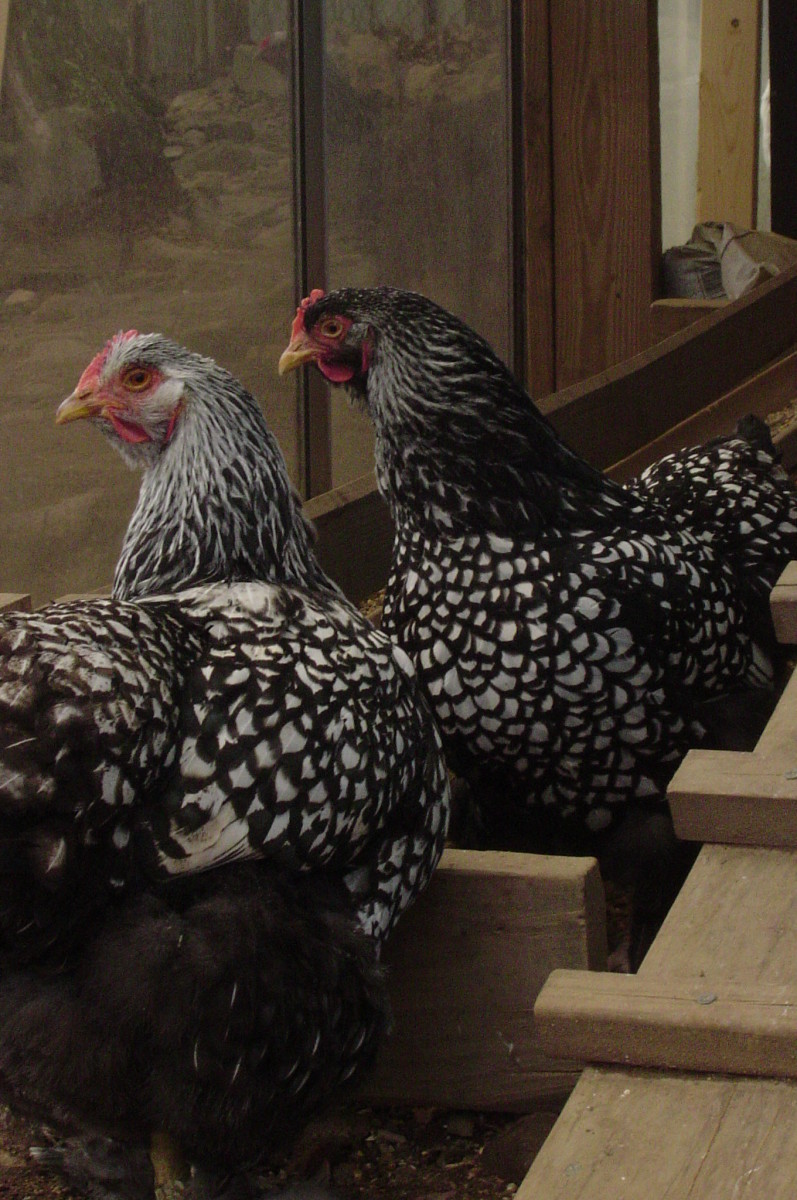 Two beautiful hens.